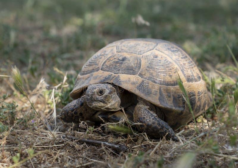 Una tartaruga selvaggia che vaga liberamente in Turchia centrale fotografia stock
