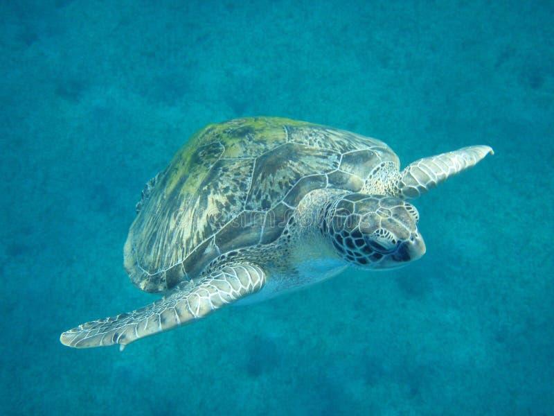 Una tartaruga verde è nel Mar Rosso immagini stock libere da diritti