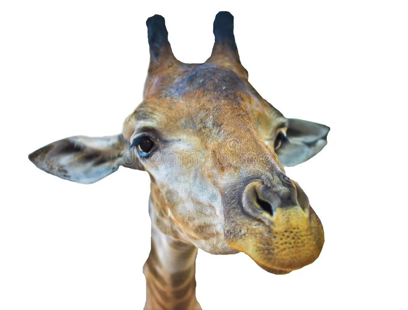 Una testa della giraffa con fondo bianco immagini stock libere da diritti