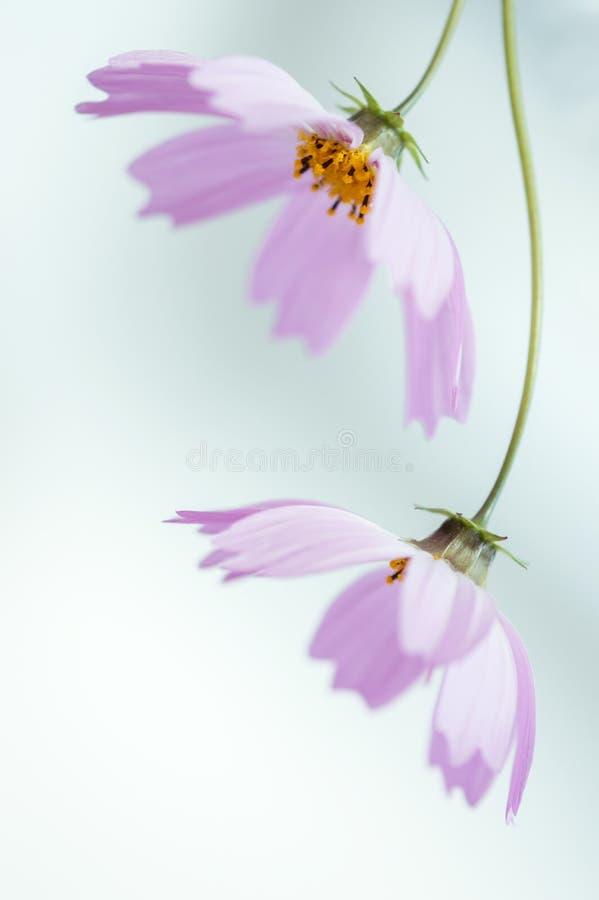 Una testa di due fiori rosa giù su un fondo delicato fotografia stock