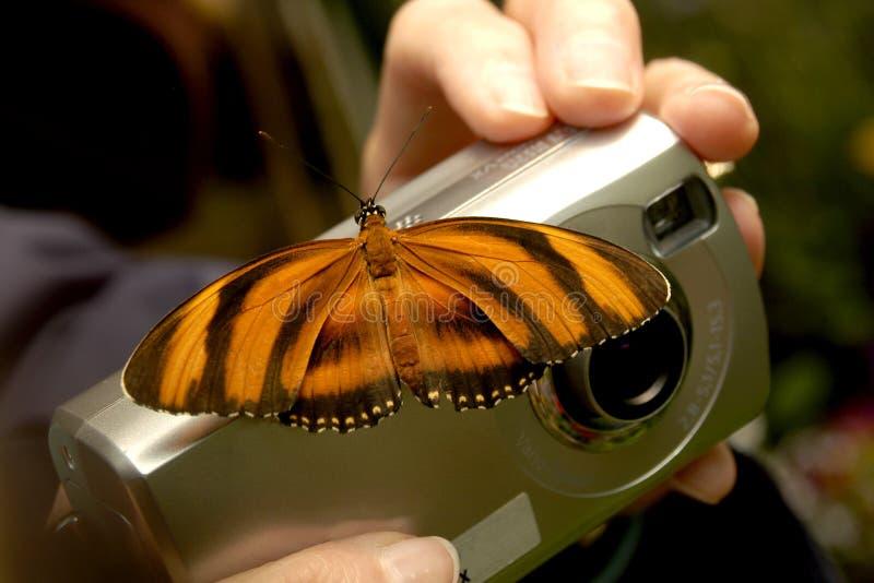 Una tierra de la mariposa de monarca en una cámara que intenta tomar una imagen de ella imagenes de archivo