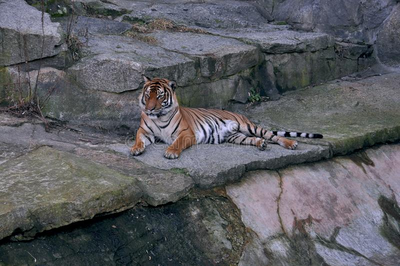 Una tigre dal Tiergarten a Berlino fotografie stock