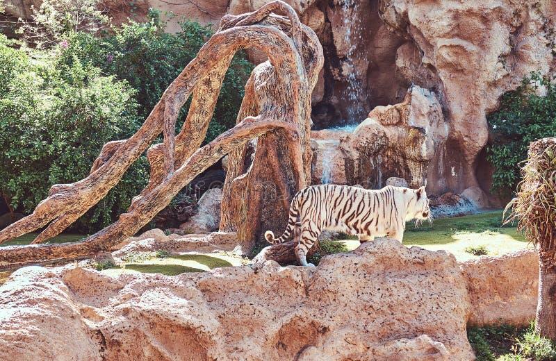 Una tigre di Bengala di bianco cammina sul parco nello zoo nazionale Ricerca del posto fresco per nascondersi dal sole su un cald immagine stock libera da diritti