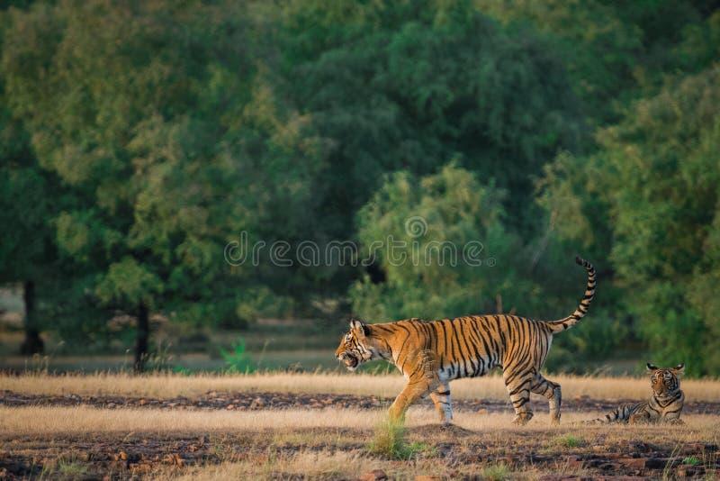 Una tigre di Bengala femminile sembrante arrabbiata che fa pagare sopra la preda dell'espressione in una stagione dei monsoni ver fotografie stock