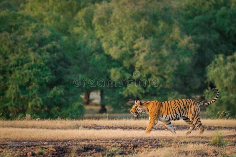 Una tigre di Bengala femminile sembrante arrabbiata che fa pagare sopra la preda dell'espressione in una stagione dei monsoni ver fotografia stock libera da diritti