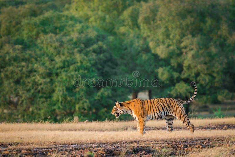 Una tigre di Bengala femminile sembrante arrabbiata che fa pagare sopra la preda dell'espressione in una stagione dei monsoni ver immagini stock