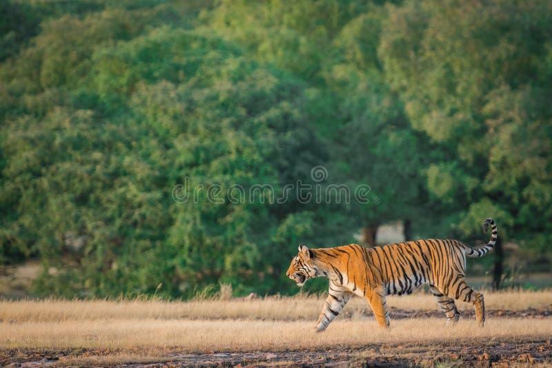 Una tigre di Bengala femminile sembrante arrabbiata che fa pagare sopra la preda dell'espressione in una stagione dei monsoni ver fotografie stock libere da diritti