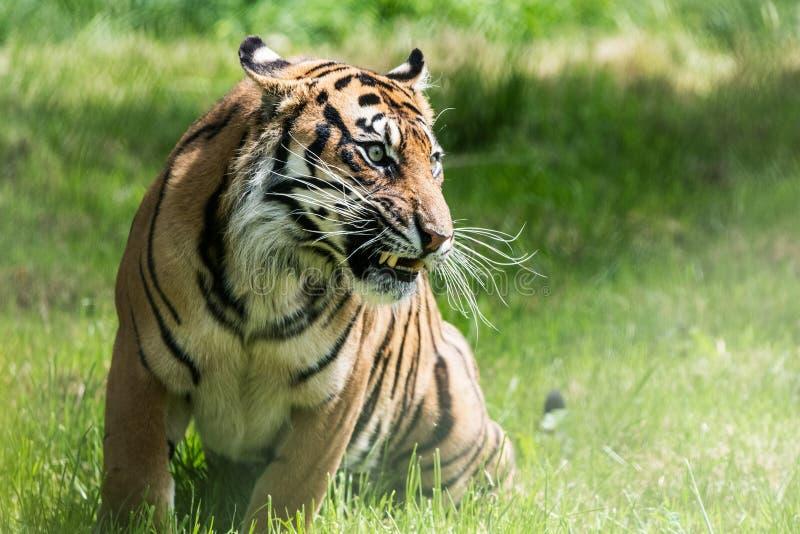 Una tigre di Sumatran, che originalmente abita nell'isola indonesiana di Sumatra immagine stock