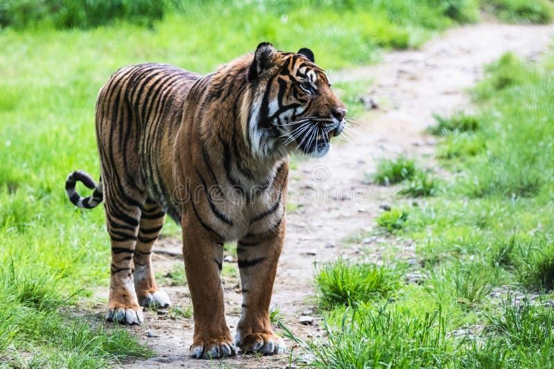 Una tigre di Sumatran, che originalmente abita nell'isola indonesiana di Sumatra immagine stock libera da diritti