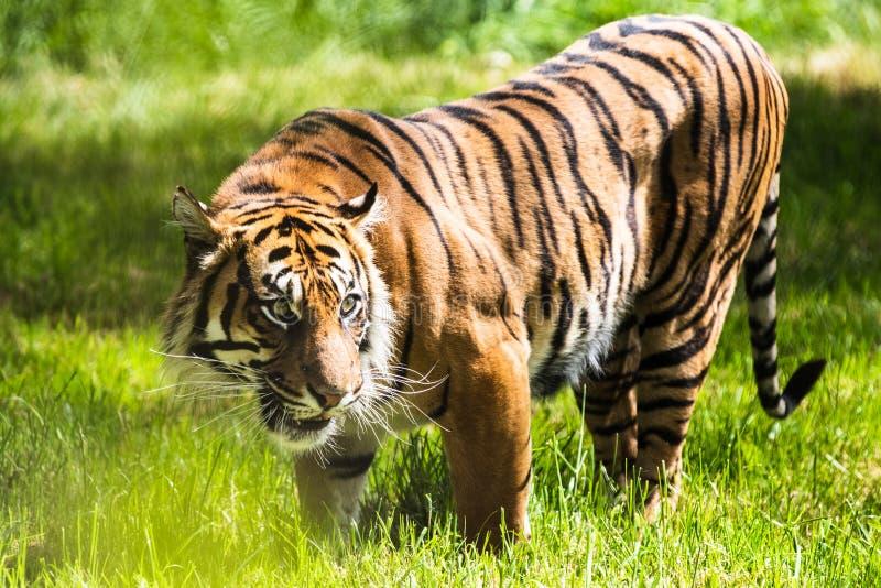 Una tigre di Sumatran, che originalmente abita nell'isola indonesiana di Sumatra immagini stock