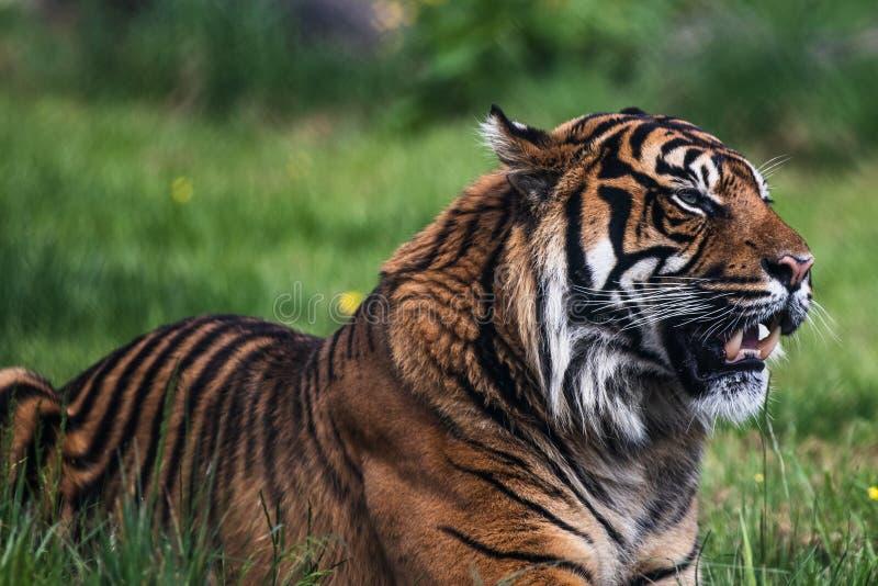 Una tigre di Sumatran, che originalmente abita nell'isola indonesiana di Sumatra immagini stock libere da diritti