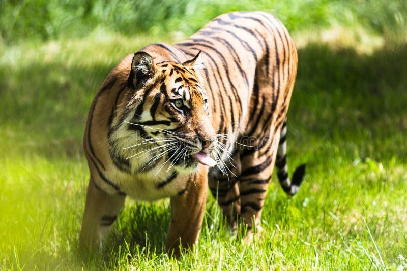 Una tigre di Sumatran, che originalmente abita nell'isola indonesiana di Sumatra fotografie stock libere da diritti