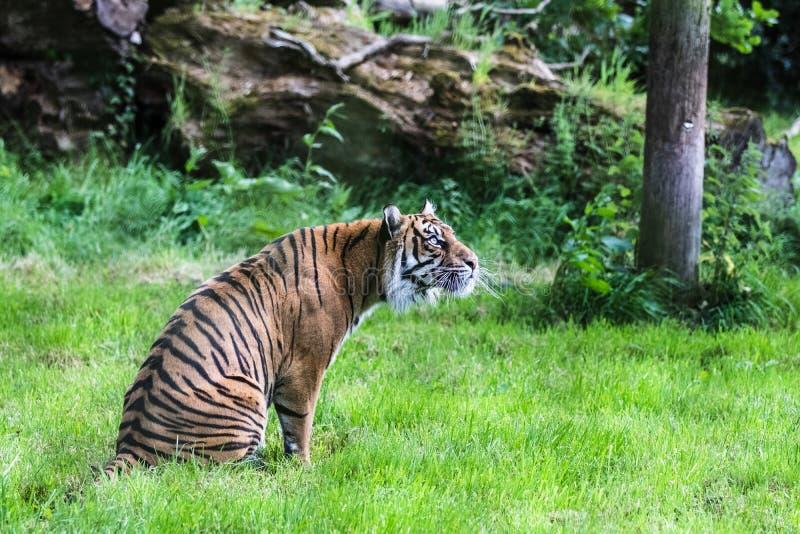 Una tigre di Sumatran, che originalmente abita nell'isola indonesiana di Sumatra fotografia stock libera da diritti