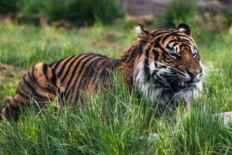 Una tigre di Sumatran, che originalmente abita nell'isola indonesiana di Sumatra fotografia stock