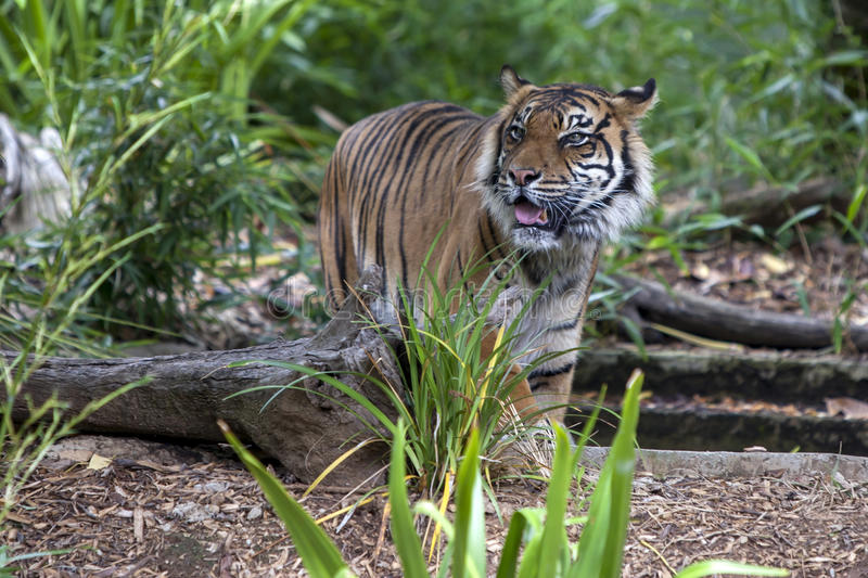Una tigre di Sumatran percorre nella sua recinzione ad Adelaide Zoo in Australia Meridionale in Australia immagine stock