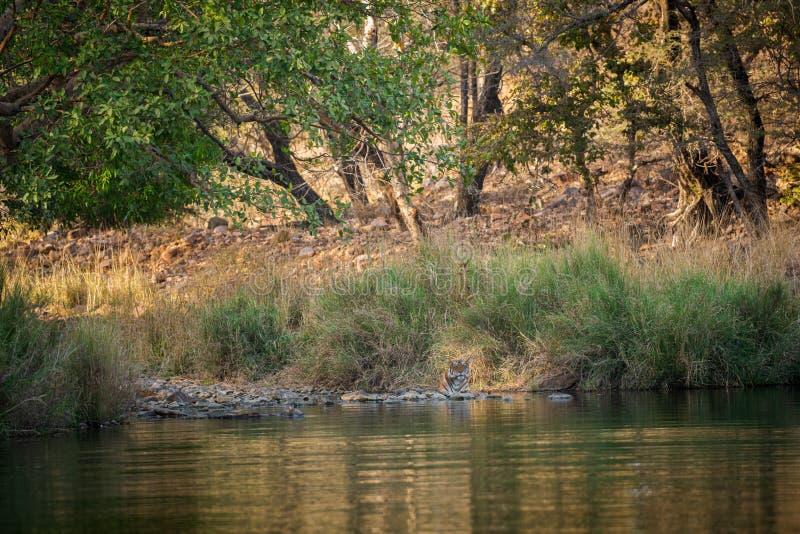 Una tigre femminile che riposa nella sera con bello circondare appena prima andare iniziare territorio a segnare a Ranthambore fotografia stock