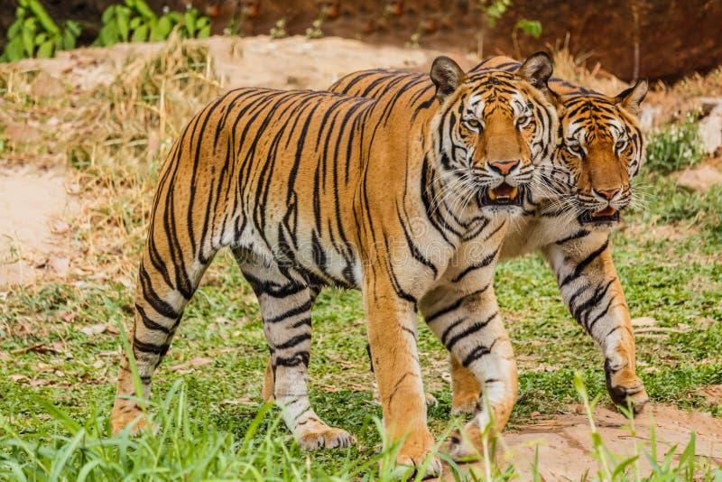 Una tigre indiana nel selvaggio Reale, tigre di Bengala fotografie stock libere da diritti