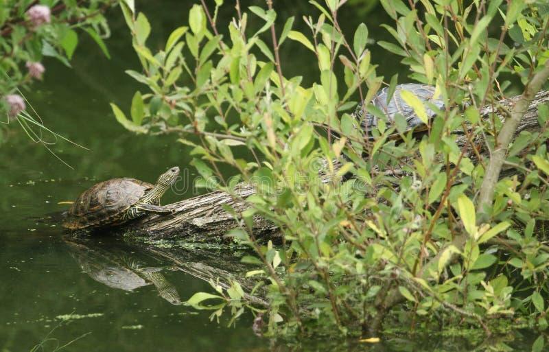 Una tortuga Amarillo-hinchada bonita del scripta o del agua del scripta de Trachemys del resbalador que coloca en un inicio de se fotografía de archivo