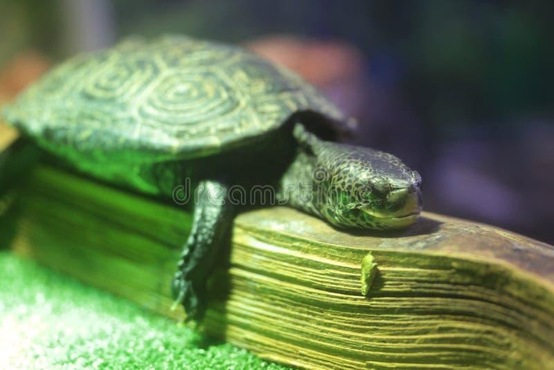 Una tortuga cansada adentro se relaja imagenes de archivo