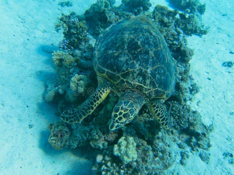 una tortuga de mar en un coral fotos de archivo