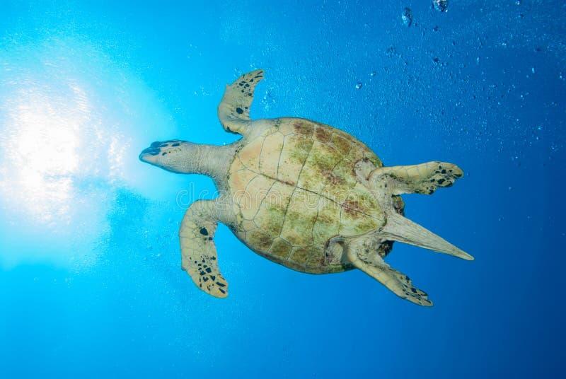Una tortuga de mar hermosa que se desliza a través del agua foto de archivo