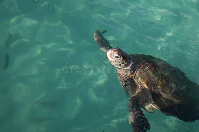 Una tortuga de mar, visión superior con la cabeza sobre la aguamarina riega, sitio para la copia foto de archivo