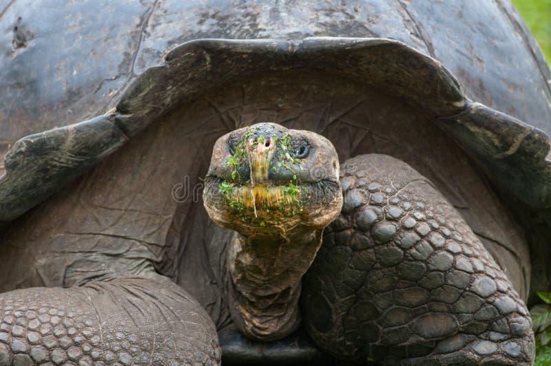 Una tortuga gigante que alimenta en las Islas Galápagos fotos de archivo libres de regalías