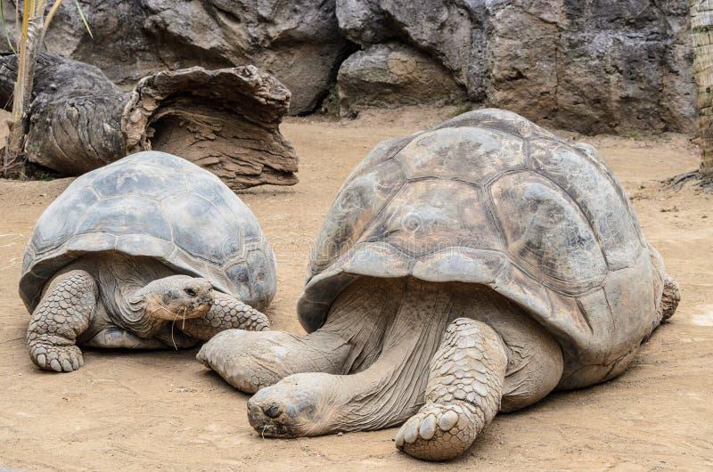 Una tortuga grande en el parque zoológico en el parque de Loro, Puerto de la Cruz fotos de archivo libres de regalías