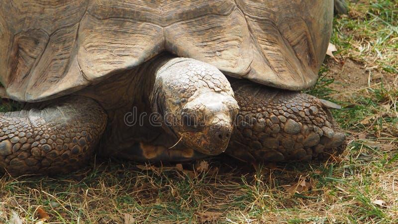 Una tortuga linda vieja que se mueve lentamente imágenes de archivo libres de regalías