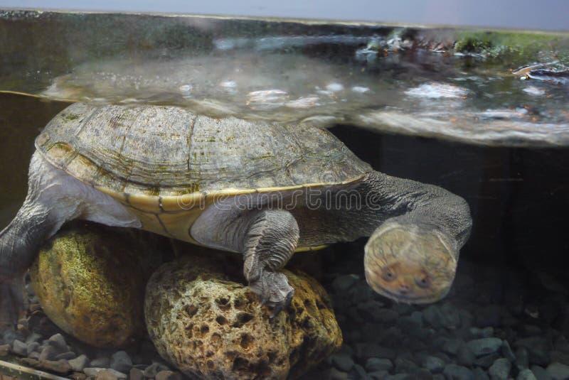 Una tortuga que se coloca debajo del agua en un acuario en varias piedras y que mira con los ojos asombrosos lejos de sí mismo foto de archivo