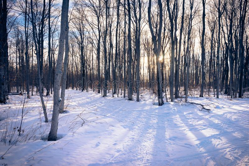 Una traccia di escursione attraverso gli alberi di betulla nell'inverno immagine stock