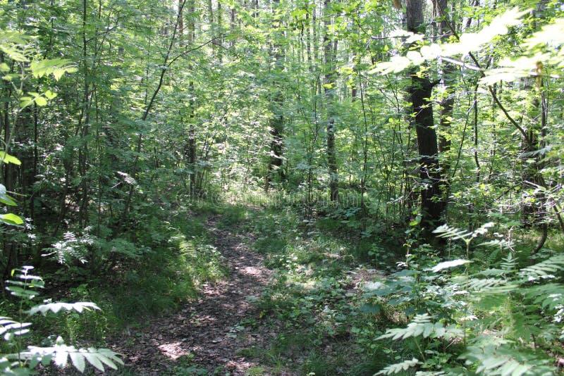 Una trayectoria estrecha en el bosque del verano fotos de archivo