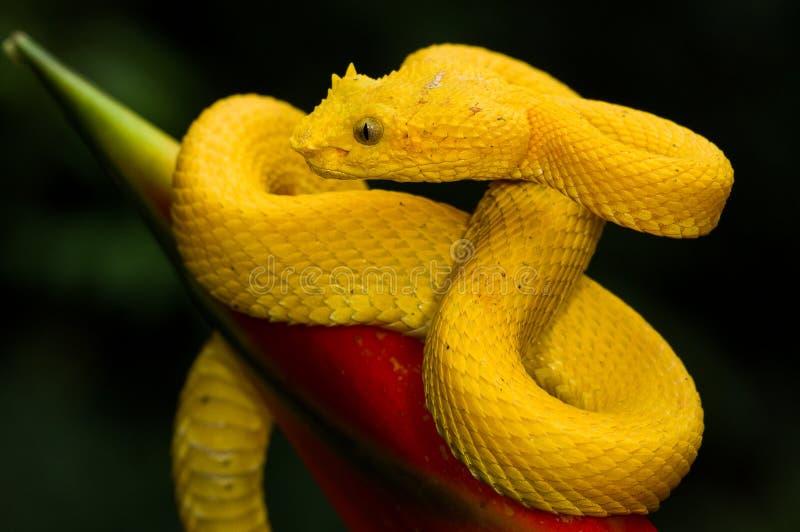 Una víbora de hoyo amarilla de la pestaña fotografía de archivo libre de regalías