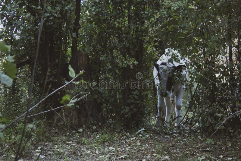 Una vaca cruza un campo cubierto con las hierbas El sol del verano, el campo y los animales completos esta fotografía fotos de archivo libres de regalías