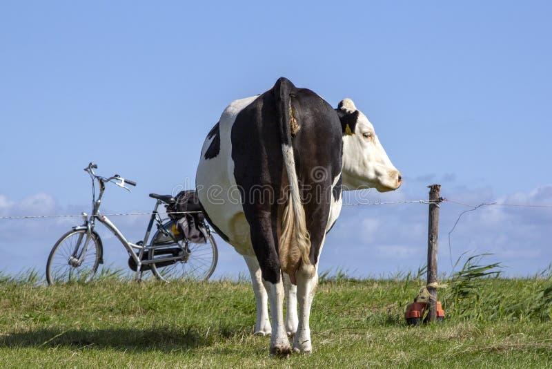 Una vaca de detrás una cerca eléctrica y una bici en estándar fotos de archivo
