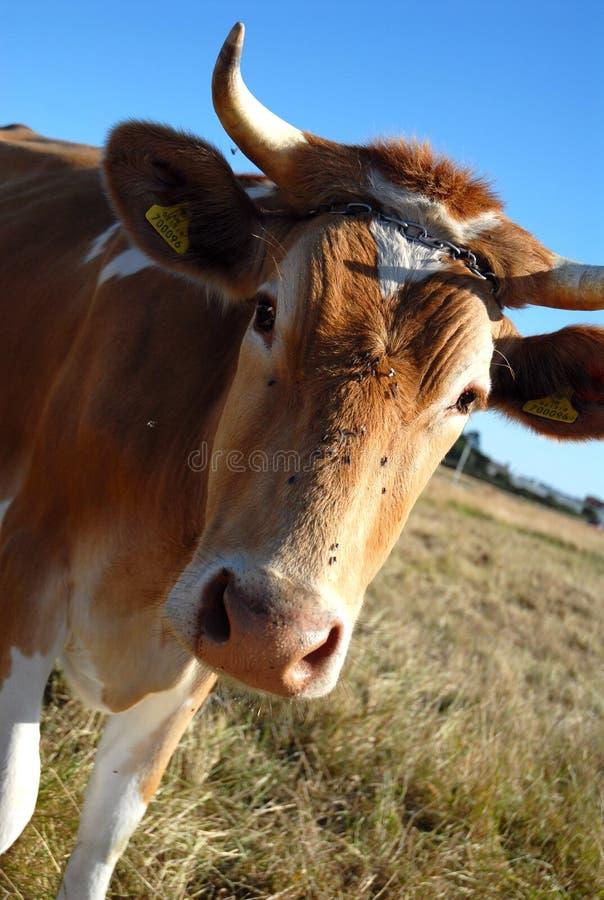 Una vaca de Guernesey foto de archivo