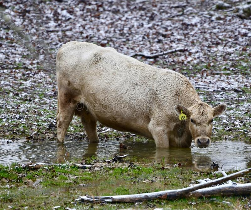 Una vaca en una corriente del invierno fotos de archivo libres de regalías