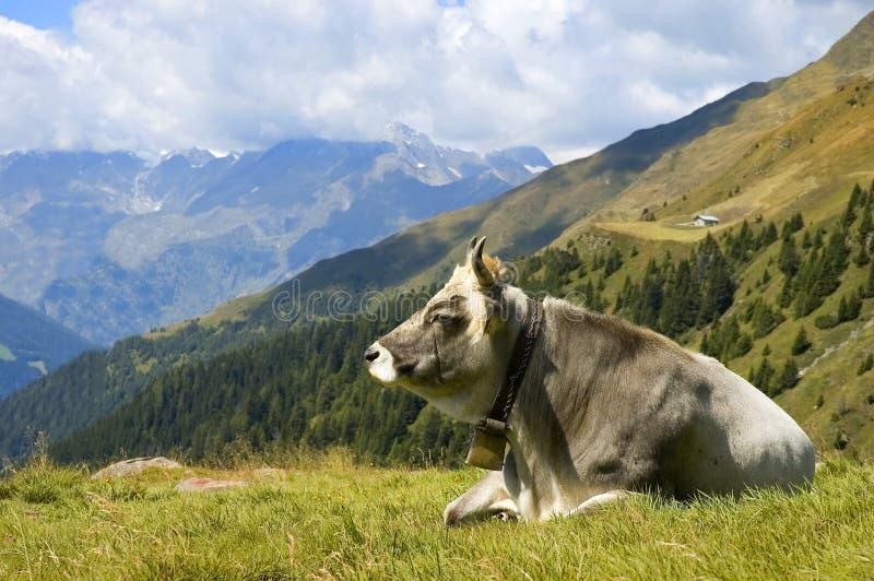 Una vaca en hierba de la montan@a foto de archivo libre de regalías