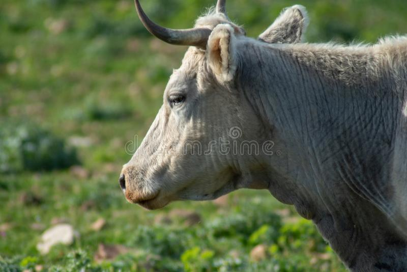 Una vaca mientras que pasta fotografía de archivo