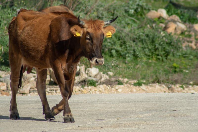 Una vaca mientras que pasta imagen de archivo