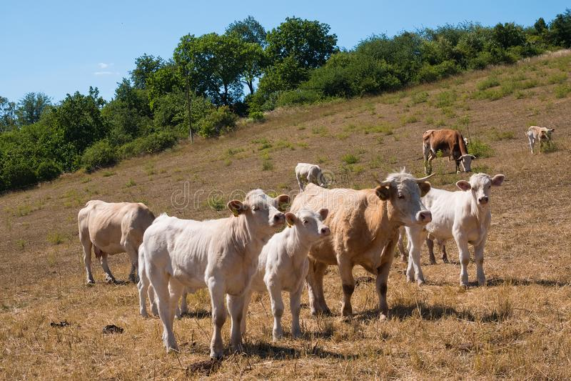 Una vaca y calfs en el pasto fotos de archivo