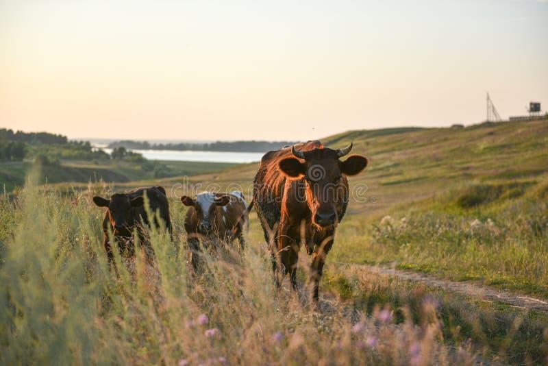 Una vaca y un becerro en un prado imágenes de archivo libres de regalías