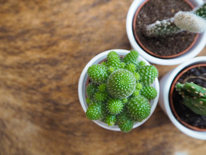 Una varietà di tre piccole piante del cactus di cui opunzia due, anche conosciute come il fico d'india ed un echinopsis in vasi b fotografia stock