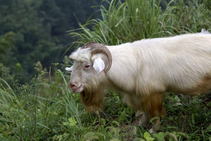 Una vecchia capra del cavo da stare al bordo della scogliera immagini stock
