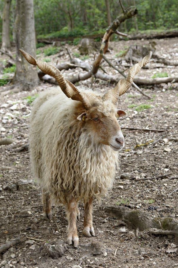 Una vecchia corsa ungherese delle pecore, Zackelschaf, strepsiceros Hungaricus di ovis aries immagini stock