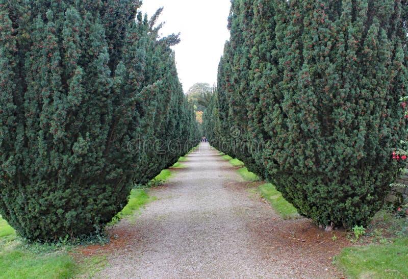 Una via con una fila degli alberi del tasso con le bacche rosse, qualsiasi lato immagini stock libere da diritti