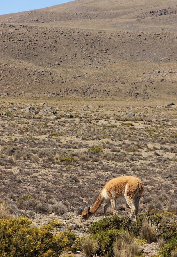 Una vicuña salvaje está pastando imagen de archivo libre de regalías