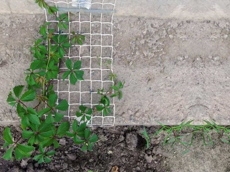 Una vid de las uvas salvajes 'enredadera de Virginia 'con las hojas verdes se arrastra para arriba la rejilla del metal en un mur fotos de archivo