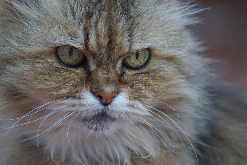 Una visión cercana en un gato siamés hermoso fotografía de archivo