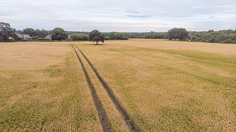 Una vista aerea di un campo giallo del raccolto con le tracce di trattore, di alberi, di foresta e di alcune case residenziali so fotografia stock